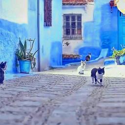 bleu bluecity chefchaouen chats cats