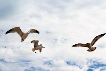 seagullsaturday freetoedit