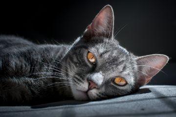 freetoedit cat pet animal grey