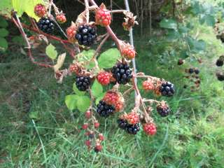 blackberries freetoedit