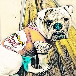 freetoedit birthdaygirl englishbulldog
