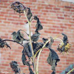 freetoedit driedflowers sunflowers birds autumn
