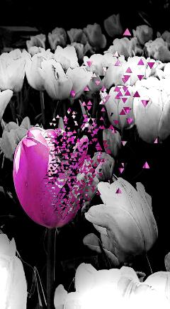 tulips flowers dispersion pautzisedits