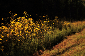 wildflowers yellow morning freetoedit