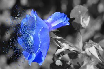 colorsplash blue dispersion rose