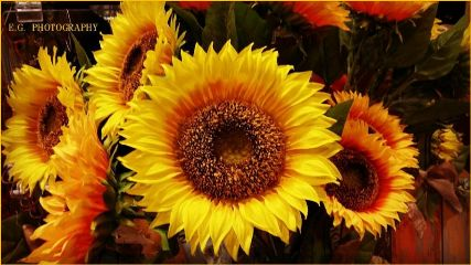 sunflowers myphotography oldphoto