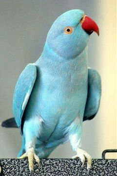 freetoedit parrot beautiful blue lightblue