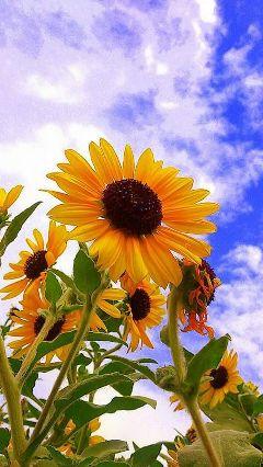 dpcsunflowers