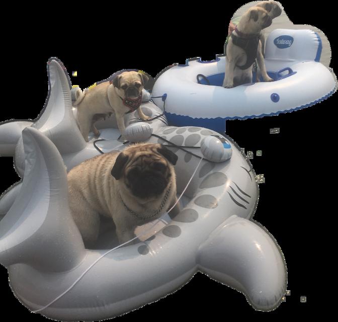 #floatingpugs  #floating #pugs #floatingdogs #dogsonwater#freetoedit