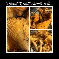 chanterelles forest gold go interesting