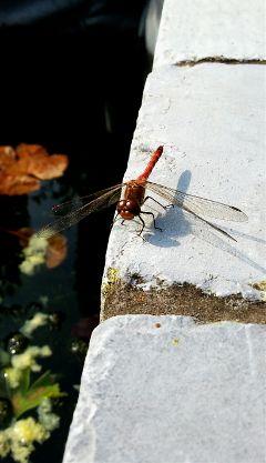 freetoedit nature petsandanimals dragonfly insect