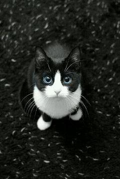 freetoedit. cat blackandwhite blue eyes freetoedit