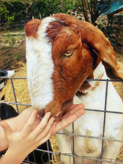 freetoedit farmlife goat picsart