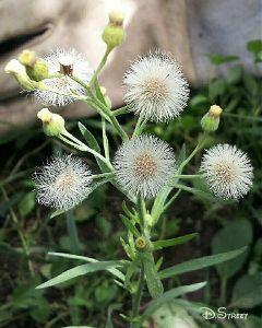 photography nature flower dandelion spring