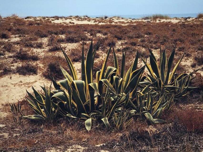 #nature #beachsand #wildplants #naturesbeauty #cactus #bluesky #seaview #landscape #naturephotography