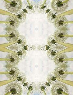 freetoedit edit dandelions mirroreffect distorted