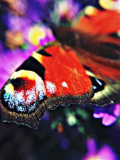 schmetterling butterfly tagpfauenauge colorful colorfull