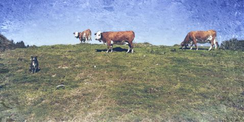 nature automne vache chien hautesavoie