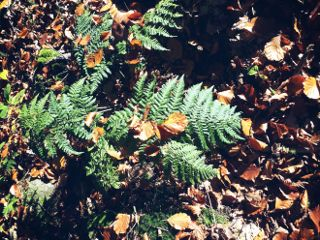 freetoedit forest autumn fern