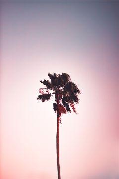 freetoedit palm tree sky pink
