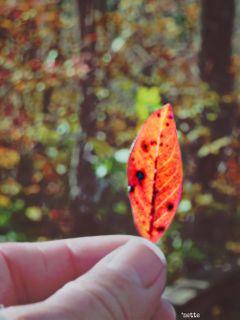freetoedit inmyhand autumnleaves inthewoods myoriginalphoto