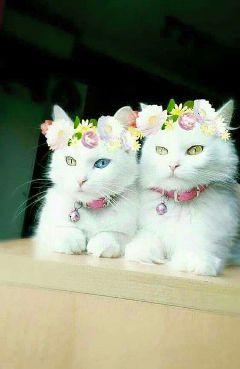 cat cats cute white beautiful