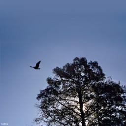 freetoedit eveninglight treesilhouette gooseinflight myoriginalphoto