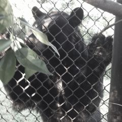 blackbear petsandanimals zoo mypic fence