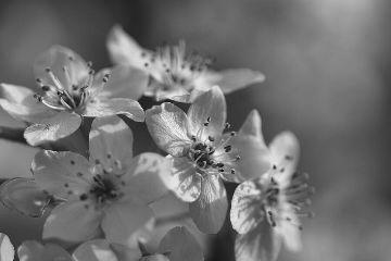 blossom season flowers black and