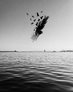 freetoedit blackandwhite feather sea birds