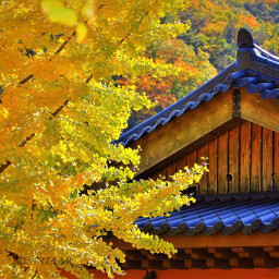 southkorea morningcalm autumn beautiful yellow