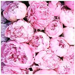 freetoedit peonies pink flowers favorite
