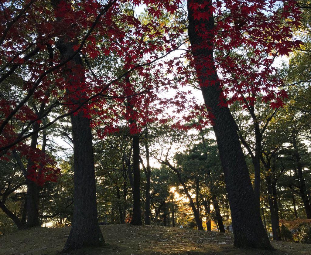 #freetoedit #fallcolors #goldenhour #trees #leaves #nature