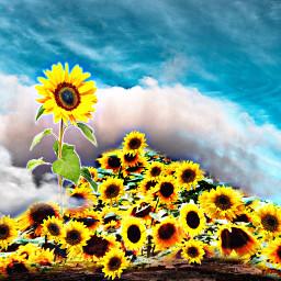 freetoedit art interesting sunflowers sunflowerremix