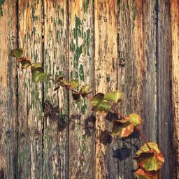autumnmood veryoldwooddoor wildplants bindweedbranch urbannature