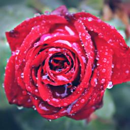 freetoedit rose redrose drops dewdrops