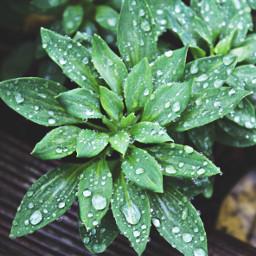 freetoedit leaves drops rain dewdrops