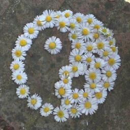 freetoedit daisy white yellow yinandyang