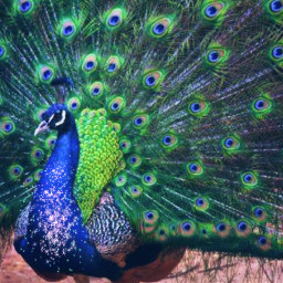 turkey turkeyday turkeydrawings freetoedit
