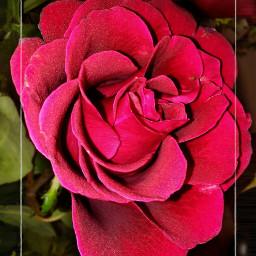 rose rosered beautifulrose flower nature freetoedit