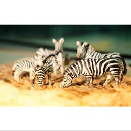 stilllife zebra toy