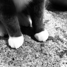freetoedit blackandwhite cat cute paws