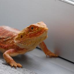 freetoedit reptile lizard