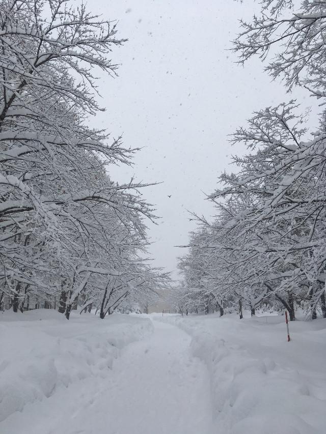 #pcwhite #white #freetoedit #snow #snowing  #trees #pathway #myphoto #hokkaido #japan  #白雪靄靄 #pcitssnowing