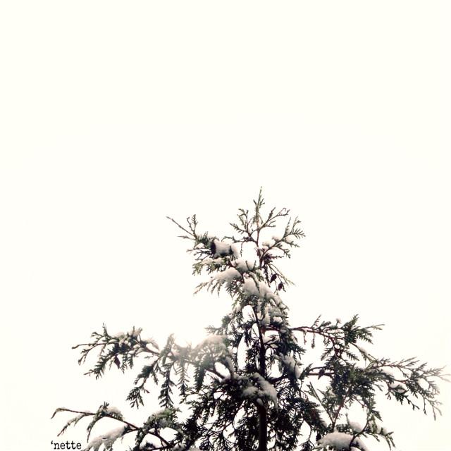 #pcitssnowing #itssnowing #freetoedit #snow #winter #pinetree #myoriginalphoto