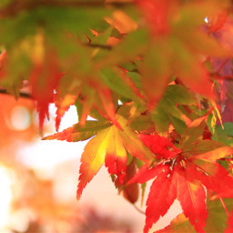 freetoedit japan nature photography mapleleaf