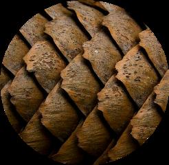 pine pinecone nature brown aesthetic freetoedit
