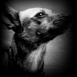 bnw vignette animal dog pet