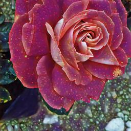 nature photography naturephotography rose holidaypartymagiceffect