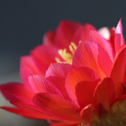 flower cactus redflower